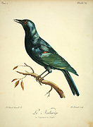 The Cape starling, red-shouldered glossy-starling or Cape glossy starling (Lamprotornis nitens) is a species of starling in the family Sturnidae. It is found in southern Africa, where it lives in woodlands, bushveld and in suburbs from the Book Histoire naturelle des oiseaux d'Afrique [Natural History of birds of Africa] Volume 2, by Le Vaillant, François, 1753-1824; Publish in Paris by Chez J.J. Fuchs, libraire 1799