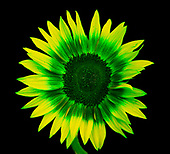 Ultra Violet UV Sunflowers