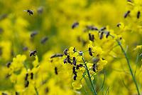 Krynki, woj. podlaskie, 27.05.2021. Pola kwitnacego rzepaku N/z pszczoly na kwiatach rzepaku fot Michal Kosc / AGENCJA WSCHOD