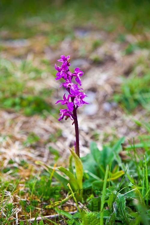 Native wild flora Fragrant Orchid flower, Gymnadenea conopsea, Orchidaceae, The Burren, County Clare, Ireland