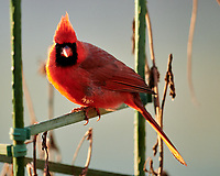 Northern Cardinal. Image taken with a Nikon D850 camera and 600 mm f/4 VR lens.
