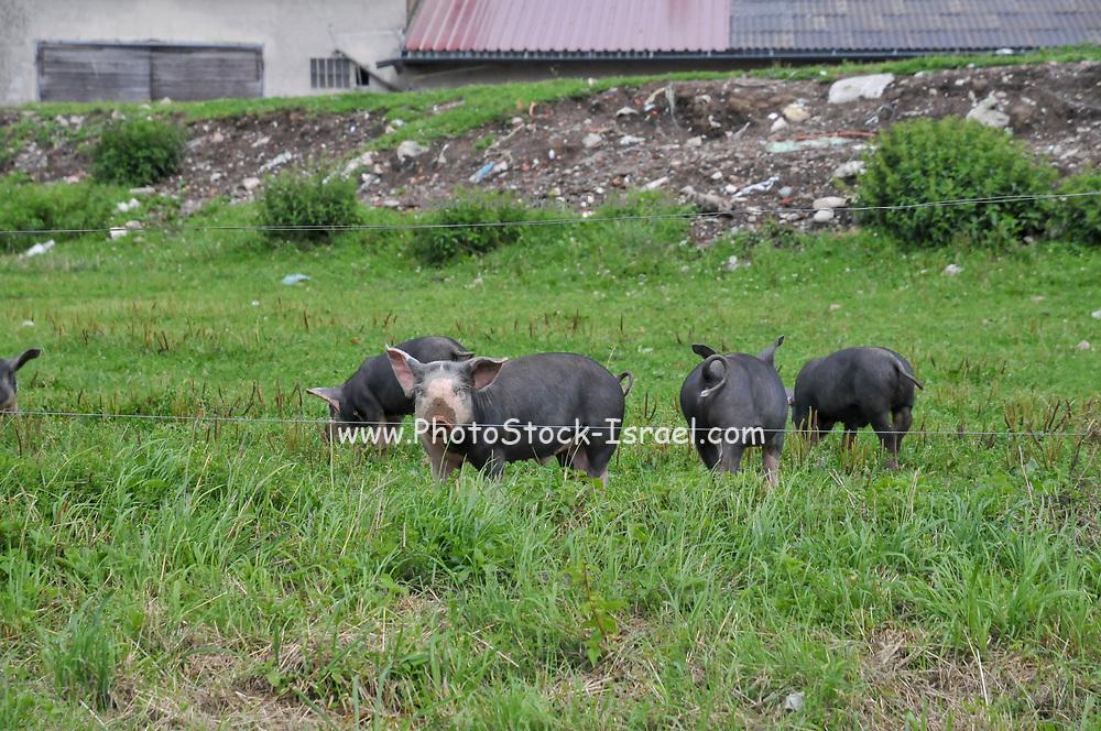 hog farming at Schluhuwanapark, Grafenhausen, State Park , black forest, Germany