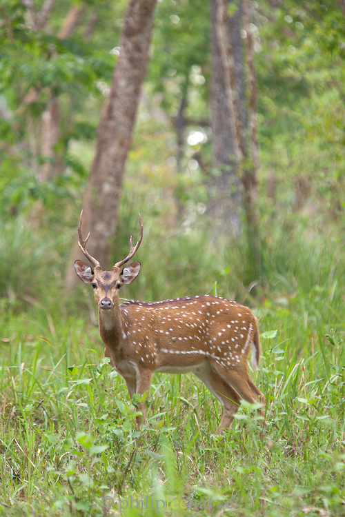 A Chital or Spotted Deer in Muthanga Wildlife Sanctuary, Wayanad, Kerala