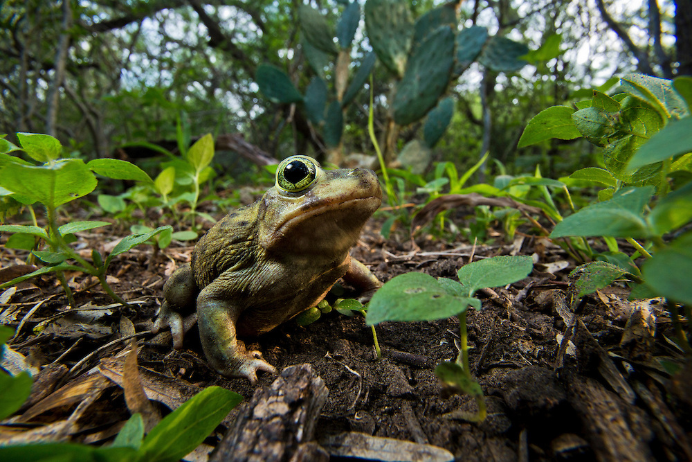 Portrait of a Couch's spadefoot toad (Scaphiopus couchii) on the forest floor.