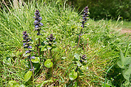 Bugle - Ajuga reptans, Stoke Woods, Bicester, Oxfordshire owned by the Woodland Trust