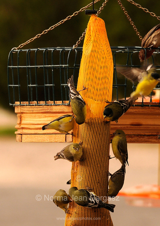 """Gale Odion fills one of the 43 bird feeders in the yard of her midtown home, where songbirds, lesser goldfinches and cactus wrens feed daily in Tucson, Arizona, USA.  The registered nurse says that her boss got her interested in feeding the birds.  Odion added, """"It's just a hobby.  It keeps me outside."""""""