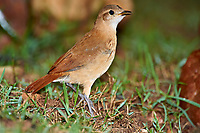Rufous Hornero (Furnarius rufus), Araras Ecolodge,  Mato Grosso, Brazil (Photo: Peter Llewellyn)
