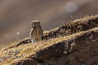 Little Owl, Athene noctua, sitting on grass after hunting on the Tibetan Plateau, Yushu, Haixi, Qinghai, China