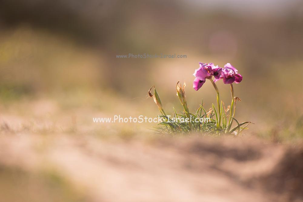 Negev Iris (Iris mariae Barbey) Photographed in the Negev Desert, Israel in March