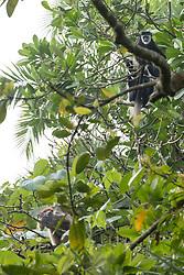 L'Hoest Monkey