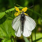 A white butterfly, Juneau, Alaska, USA.