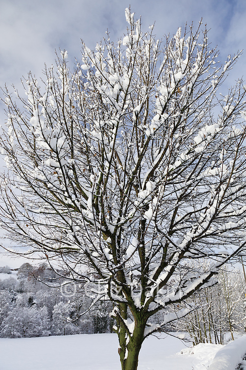 Branches on snow-laden tree after heavy early winter snow in Derbyshire