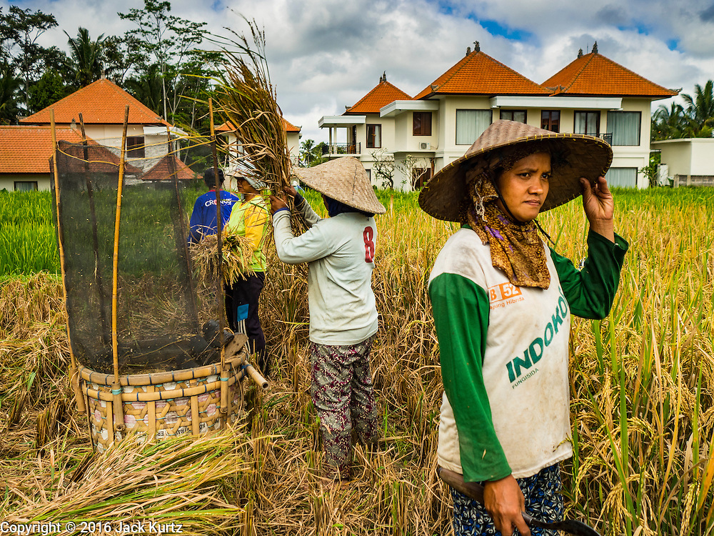 20 JULY 2016 - TAMPAKSIRING, GIANYAR, BALI:  Women harvest rice in a rice paddy in Tampaksiring. New homes built as rental properties for foreign tourists and retirees are in the background. Many rice fields around Ubud are being sold to real estate developers who are building expensive homes in the paddies. Rice is an important part of the Balinese culture. The rituals of the cycle of planting, maintaining, irrigating, and harvesting rice enrich the cultural life of Bali beyond a single staple can ever hope to do. Despite the importance of rice, Bali does not produce enough rice for its own needs and imports rice from nearby countries. Because of its dependable growing weather and number of micro-climates, rice cultivation is a year round activity in Bali. Some farmers can be harvesting rice, while farmers just a few kilometers away can be planting rice. Most rice in Bali is still harvested by hand.     PHOTO BY JACK KURTZ