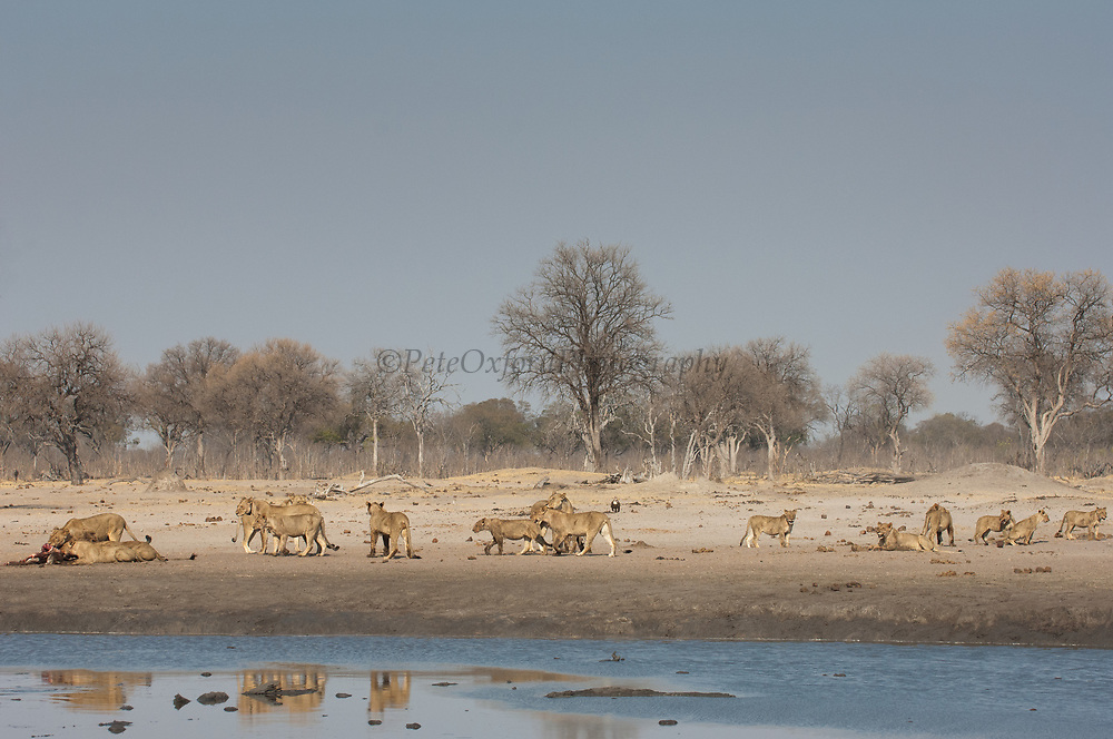 Lions (Panthera leo) feeding on a sable carcass they have just caught at a waterhole. <br /> Makalolo Plains. Hwange National Park. ZIMBABWE. Southern Africa<br /> HABITAT: Found in most habitats and healthy populations exist in the National Parks and protected areas.  Generally though their numbers are in decline due to human pressure.
