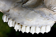 Sheep jaw and teeth, Cotswolds, England