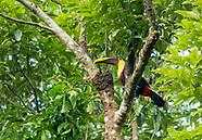 Black-mandibled Toucan, Ramphastos ambiguus