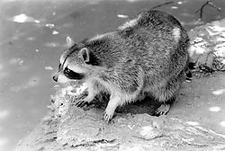 A raccoon checks out the visitors to the Parc Zoologique de Paris in the Bois de Vincennes, Tuesday, June 10, 1984, in Paris. (Photo by D. Ross Cameron)
