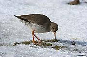 Redshank, Tringa totanus, Elmley National Nature Reserve, UK, walking, grazing marsh, adult, snow, winter