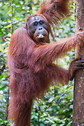 A full grown male (Pongo pymaeus) posing before climbing a tree with food in his mouth,  Tanjung Puting National Park, Central Kalimantan, Borneo, Indonesia