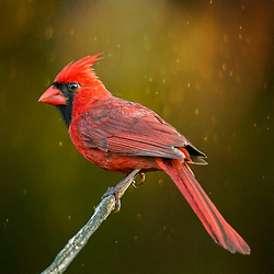 A Male Northern Cardinal Perched High On A Stick Backed By Pale Green Bokeh Texture