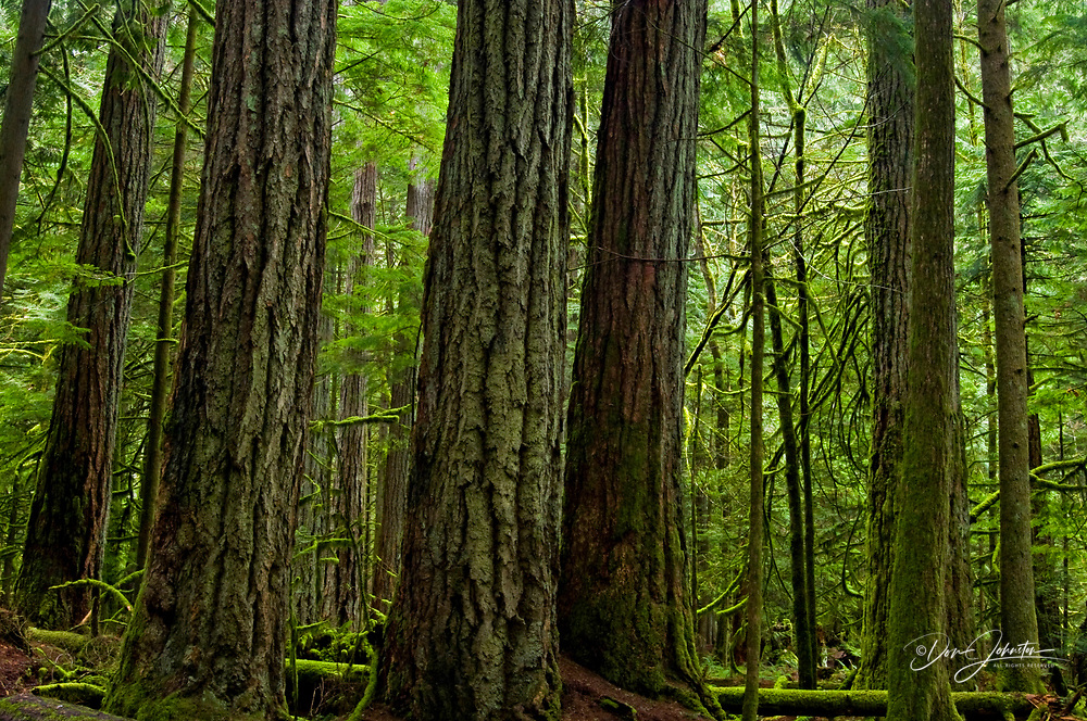 Giant cedars and ferns in Cathedral Grove, MacMillan PP, near Port Alberni, BC, Canada