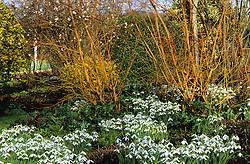 Galanthus 'Atkinsii' planted amongst cornus stems at Glen Chantry