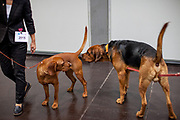 Two dogs getting to know each other beside the ring competition at the Leipzig Trade Fair. Over 31,000 dogs from 73 nations will come together from 8-12 November 2017 in Leipzig for the biggest dog show in the world.
