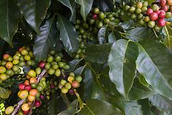 Coffee plants near Lake Atitlán, )Guatemala