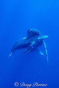 humpback whales, Megaptera novaeangliae, calf <br /> resting under mother's chin, Kona, Hawaii, USA (Pacific); caption must include notice that photo was taken under NMFS research permit #587