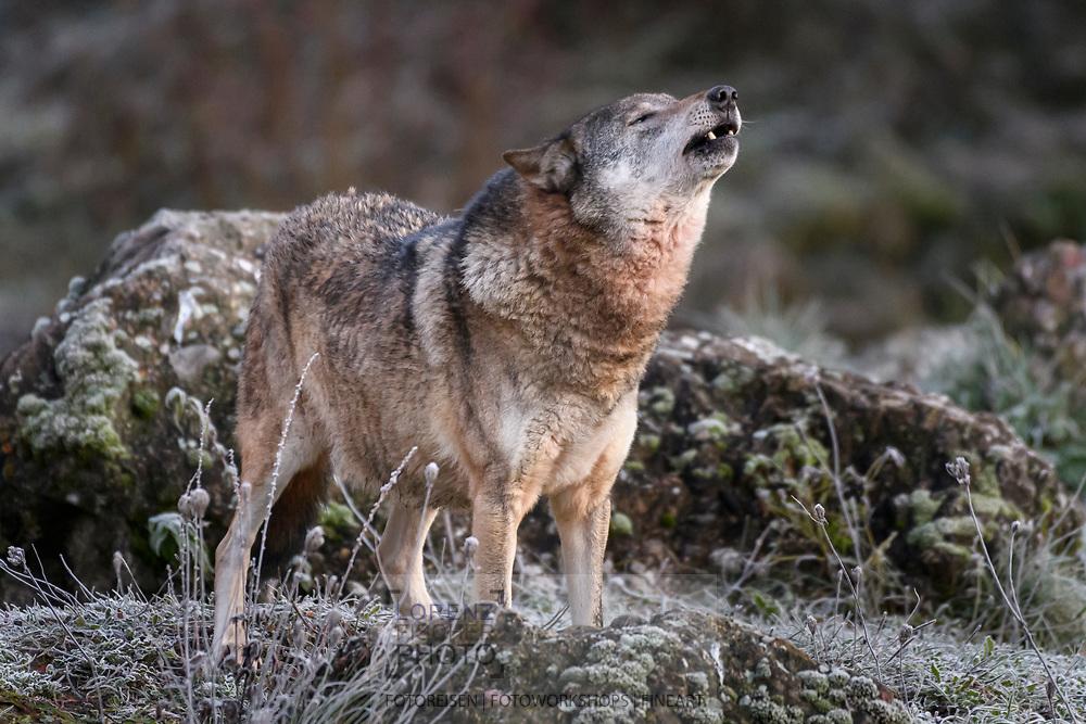 Ein heulender Wolf (Canis lupus); Tierpark Goldau, Kanton Schwyz, Schweiz<br /> <br /> A howling wolf (Canis lupus); Goldau Zoo, Canton Schwyz, Switzerland
