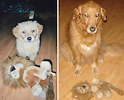 Most of us, as children, had a favorite teddy, blanket or pillow, and dogs and cats do just the same thing – oftentimes, the toy they played with when they were youngest will remain their favorite. These before-and-after photos show adorable pets growing up together with their very favorite chew toys.<br /> But why do pets like certain toys and not others? Dogs prefer toys that either taste like food or can be torn apart, while cats like things that they can play with; both animals might like their owner to engage them. And once a pet starts to play with one toy, habit soon makes it their favorite.<br /> ©Exclusivepix Media