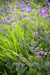 Geranium 'Nimbus' with Sedum telephium 'Matrona' and the foliage of Crocosmia 'Lady Hamilton' in the West Garden at Manor Farm House