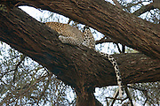 Kenya Samburu National Reserve Kenya back and tail of a Leopard, Panthera pardus on a tree February 2007