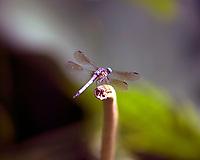 Dragonfly, Irmo, South Carolina photo by  Catherine Brown