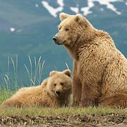 Alaskan Brown Bear (Ursus middendorffi) mother and cub in Katmai National Park, Alaska.