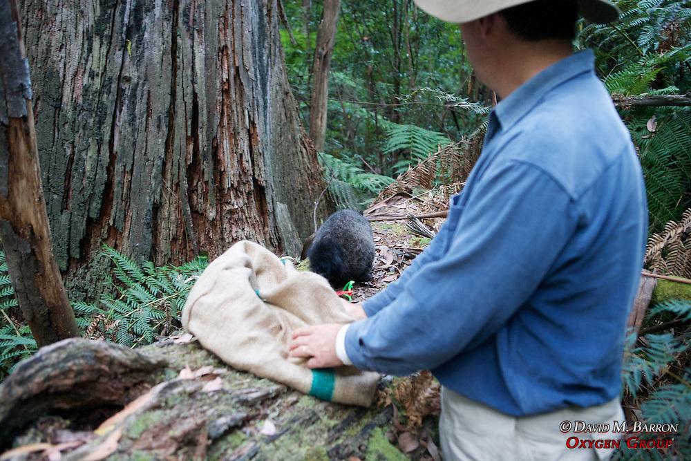 David Lindenmayer Releasing Mountain Brushtail Possum