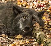 Lakota Wolf Preserve,  NJ USA