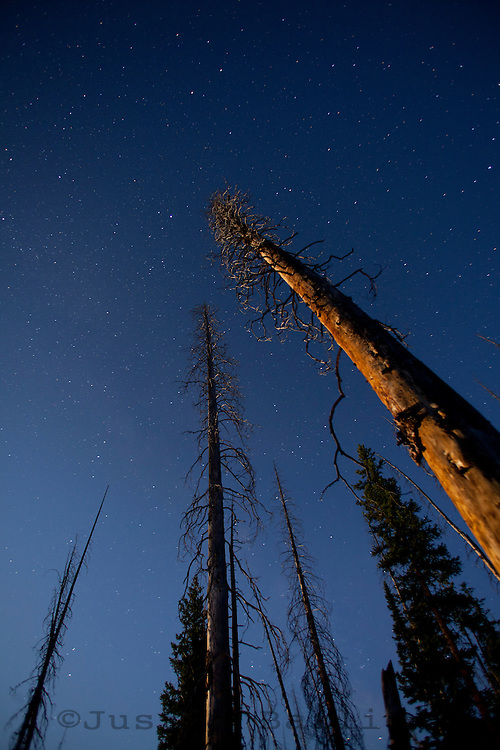 Trees lit at night by moonlight. Yellowstone National Park