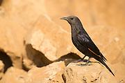 Israel, Dead Sea, Female Tristram's Starling or Tristram's Grackle (Onychognathus tristramii)