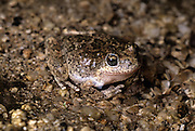 A southwestern toad (Bufo microscaphus) blending into the bottom of a small spring in the Anza-Borrego Desert, California.