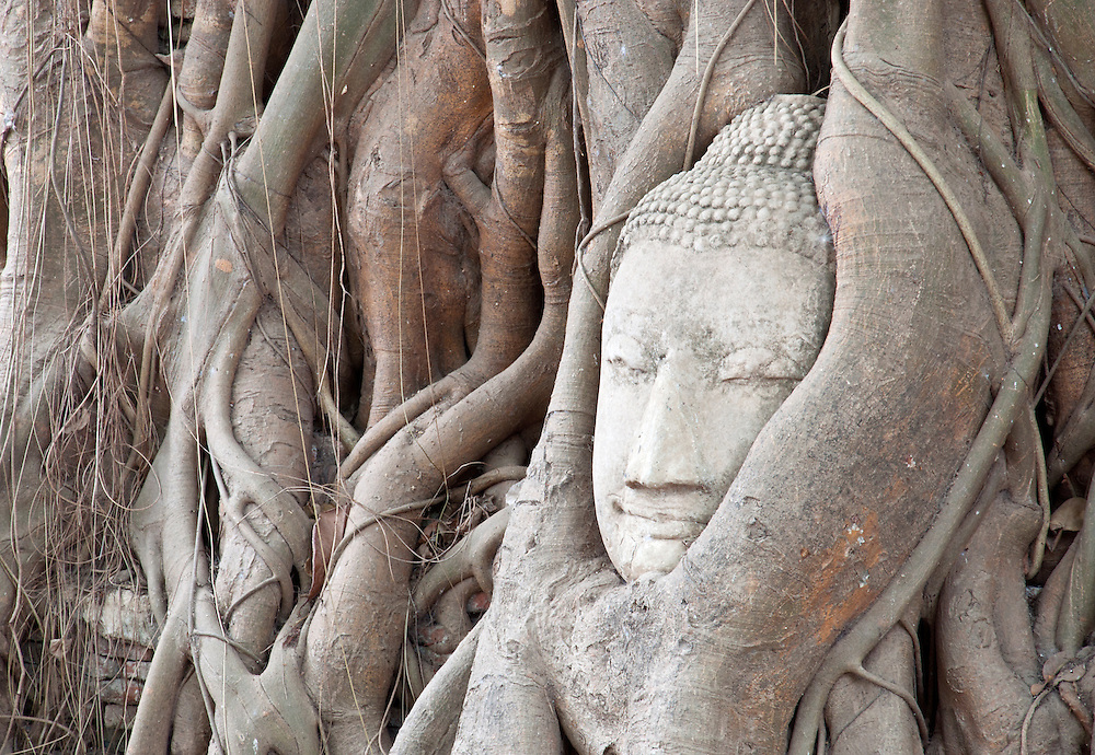 The ancient head of a buddha statue, wrapped in the roots of a tree, Ayutthaya, Thailand.
