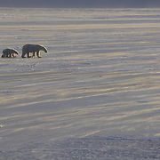 Polar Bear (Ursus maritimus) mother and cub on the frozen ice of Hudson Bay, Canada during the evening.