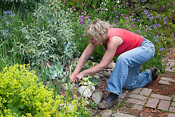 Tidying up the seaside garden. Removing tatty leaf from Crambe maritima