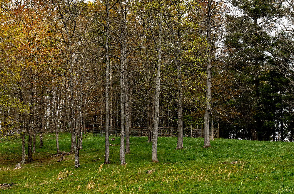 A scene of early Spring Trees with the leaves just coming out with a corral in the background.