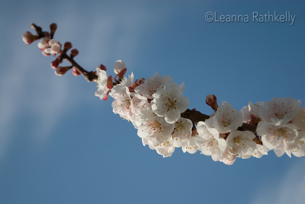 Apricot tree in blossom, spring in the Okanagan, BC Canada