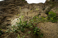 Annual Wallrocket (Diplotaxis muralis) growing in the ruins of the Mayor's House/Castle in Pont-du-Chateau, Auvergne, France.
