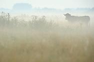Pajuna cow, Tauros/Aurochs breeding site run by The Taurus Foundation, Keent Nature Reserve, The Netherlands