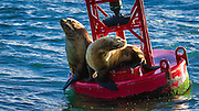 Steller sea lions on a buoy in Ventura Harbor, Ventura, California USA