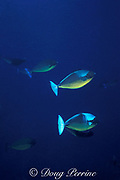 sleek unicornfish, blacktongue unicornfish <br /> or Thorpe's unicornfish, Naso hexacanthus, <br /> courtship coloration or color phase, <br /> Andaman Islands, India ( Andaman Sea / Indian Ocean )