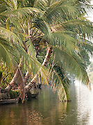 Palms dip into the waters near Alappuzha in the Kerala Backwaters, India
